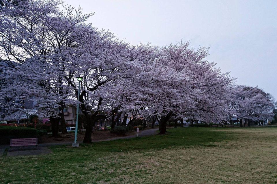 花崎北公園の桜